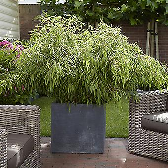 Pair of Fargesia 'Fountain' Bamboo Plants in 2L Pots 50cm Tall