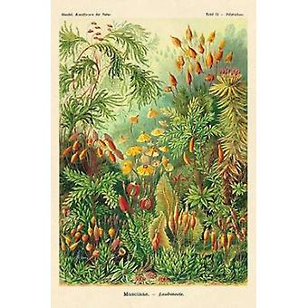 Haeckel Nature Illustrations Muscinae Poster Print by  Ernst Haeckel