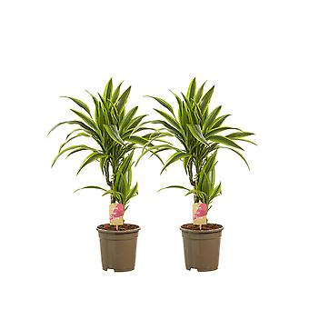 Dragon tree ↕ 65 to 70 cm available with planter | Dracaena dermensis Lemon Lime