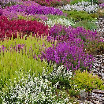 Evergreen Heather Plant Collection - Pack of SIX Winter Hardy Evergreen Plants in Bud