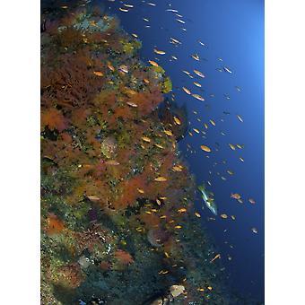 Reef scen med koraller och fiskar Puerto Galera Negros Oriental Filippinerna affisch Skriv
