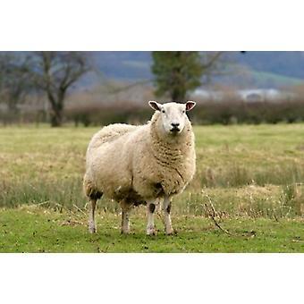 UK England Cotswold Schafe Nutztiere Poster Print von David Slater
