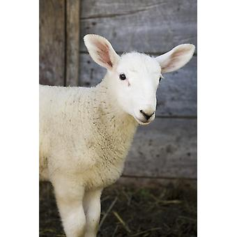 Close up of a baby lamb against the outside of a wooden barn wallAlberta canada PosterPrint