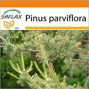 Saflax - Garden in the Bag - 10 seeds - Japanese White Pine - Pin blanc du Japon - Pino bianco giapponese  - Pino blanco japonés - Mädchenkiefer