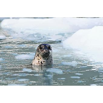 Harbor Seal Swims In An Ice Floe At Yale Glacier In Prince William Sound Southcentral Alaska Summer PosterPrint