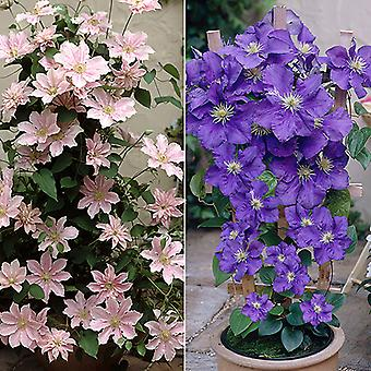 Pair Patio Clematis,2L Blue & Pink on Trellis in Flower