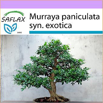 Saflax - 12 семян - бонсай - оранжевый Жасмин - Oranger Жасмин - Муррайя - Наранхо Хасмин - B - Orangen-Жасмин
