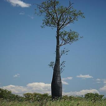 Brachychiton rupestris (Bottle tree) - Plant