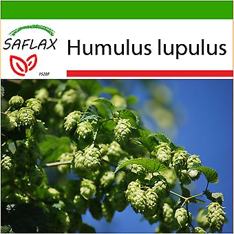 Saflax - 50 seeds - With soil - Common Hop - Houblon - Luppolo - Lúpulo - Echter Hopfen