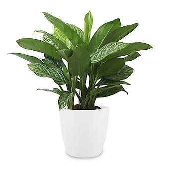 Aglaonema ↕ 70 cm available with planter | Aglaonema