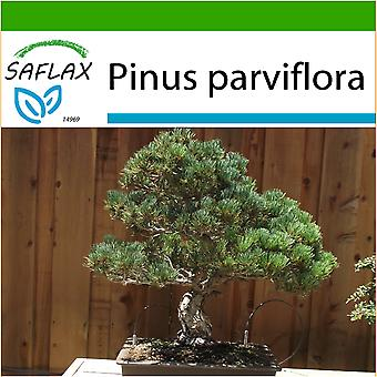 Saflax - 12 seeds - With soil - Bonsai - Japanese White Pine - Pin blanc du Japon - Pino bianco giapponese  - Pino blanco japonés - B - Mädchenkiefer