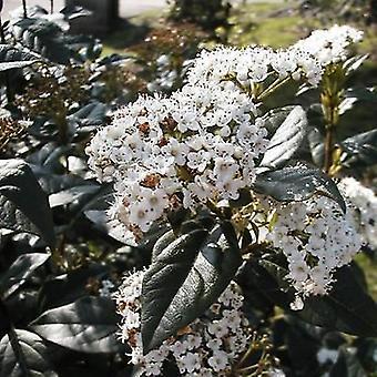 VIBURNUM tinus Purpureum - Laurustinus Pupureum - Plant in 9cm Pot