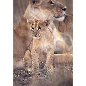 Lion d'Afrique Masai Mara au Kenya Poster Print par Roy Toft
