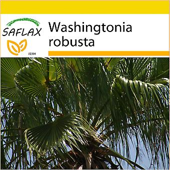 Saflax - Potting Set - 12 seeds - Mexican Cotton Palm - Palmier éventail - Palma messicana  - Palma de California - Washingtonia Fächerpalme