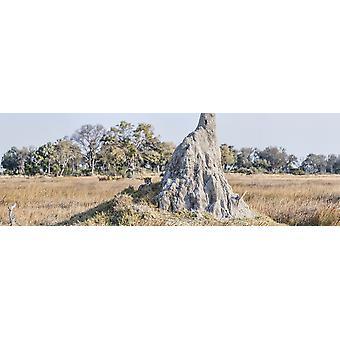 Cheetah resting near Termite Mound Chitabe Okavango Delta Botswana Poster Print