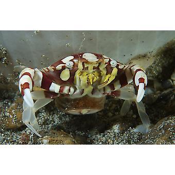 Röd och vit harlequin krabba släppa sina ägg Lembeh Strait norra Sulawesi Indonesien affisch Skriv