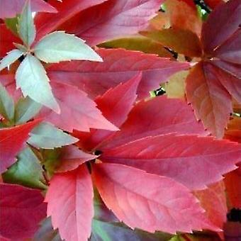 Virginia Creeper Vine - Parthenocissus quinquefolia Engelmannii - Boston Ivy