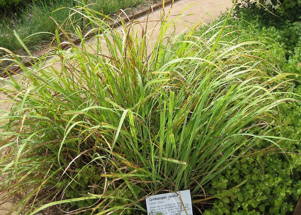 Saflax - Garden in the Bag - 50 seeds - Lemongrass - Lemongrass de l'Inde - Citronella - Pasto limón - Zitronengras