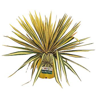 Choice of Green -Yucca Set of 2 pices