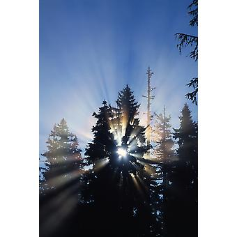 Sunburst Through Silhouetted Pine Trees PosterPrint