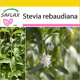 Saflax - Potting Set - 100 seeds - Sweet Leaf of Paraguay - Chanvre d'eau - Stevia - Hierba dulce - Stevia Süßkraut
