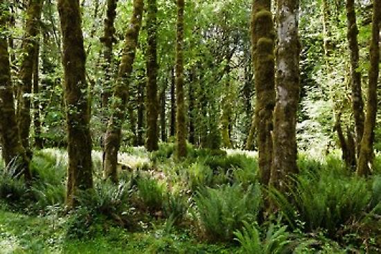 Trees in a forest Quinault Rainforest Olympic National Park Washington State USA Poster Print by Panoramic Images (36 x 24)