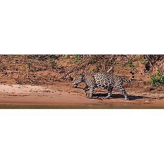 Jaguar walking in a forest at riverside Cuiaba River Pantanal Matogrossense National Park Pantanal Wetlands Brazil Poster Print