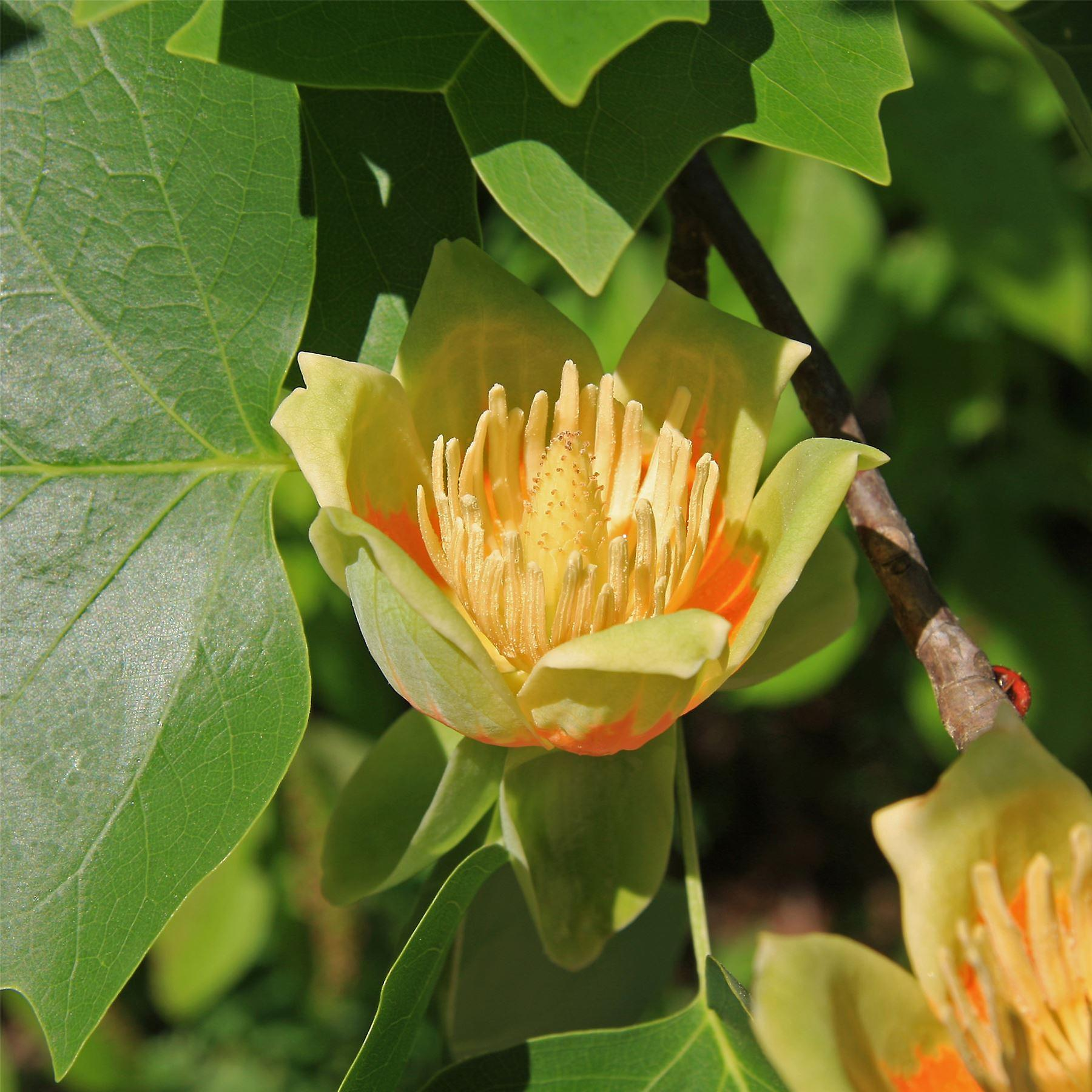Liriodendron tulipifera Aureomarginata -Tulip Tree, Gratfted Plant in 9cm. Pot