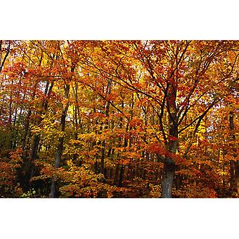 Fall Leaves On Trees PosterPrint