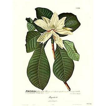 Magnolia No62 Poster trykk av Christoph Jacob Trew (15 x 21)