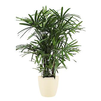 Lady palm ↕ 110 cm available with planter | Rhapis Excelsa